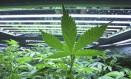 Algumas pessoas que têm filhos com algum distúrbio que gere convulsões e plantaram cannabis em casa para usar em tratamento conseguiram, na Justiça, o direito de cultivar a erva Foto: Eric Engman / AP