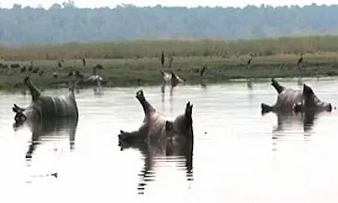 Epidemia de antraz mata mais de cem hipopótamos na Namíbia ...