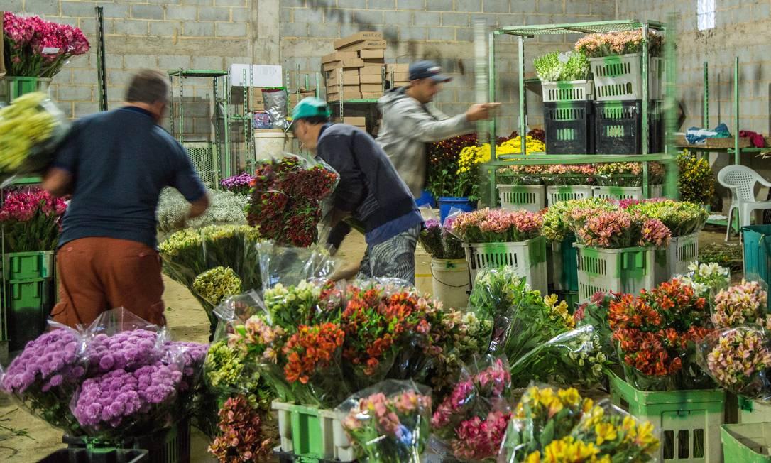 Produção de flores em Vargem Alta, Nova Friburgo Foto: Bárbara Lopes