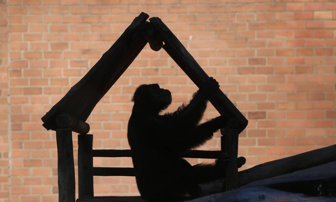 O macaco Paulinho brinca em estrutura de madeira Foto: Custódio Coimbra / Agência O Globo