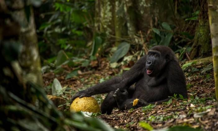 """Entre os jovens a grande vencedora foi a obra """"The Good Life"""", por Daniël Nelson, da Holanda, também vencedora da categoria 15 a 17 anos. A imagems mostra um jovem gorila no Parque Nacional Odzala, na República do Congo. Foto: Daniël Nelson/NHM"""