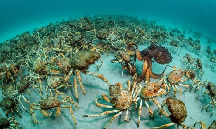 """Na categoria """"Comportamento: invertebrados"""", a vencedora foi """"Crab Surprise"""", de Justin Gilligan, da Austrália. A imagem mostra um polvo em meio a um bando de caranguejos gigantes. Foto: Justin Gilligan/NHM"""