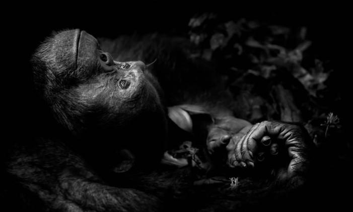 """A obra """"Contemplation"""", de Peter Delaney, da Irlanda/África do Sul, venceu a categoria """"Retratos de animais"""", com a imagem de um chimpanzé no Parque Nacional Kibale, em Uganda. Foto: Peter Delaney/NHM"""