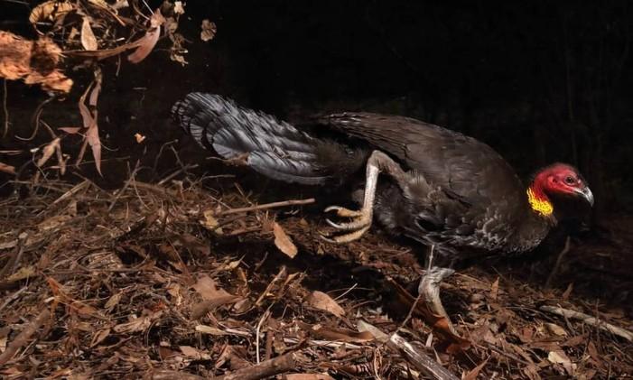 """Na categoria """"Comportamento: aves"""", a imagem vencedora foi a """"The Incubator Bird"""", por Gerry Pearce, do Reino Unido/Austrália, que mostra o inusitado peru do mato, espécie que choca os ovos com o calor do Sol e de materiais orgânicos em decomposição. Foto: Gerry Pearce/NHM"""