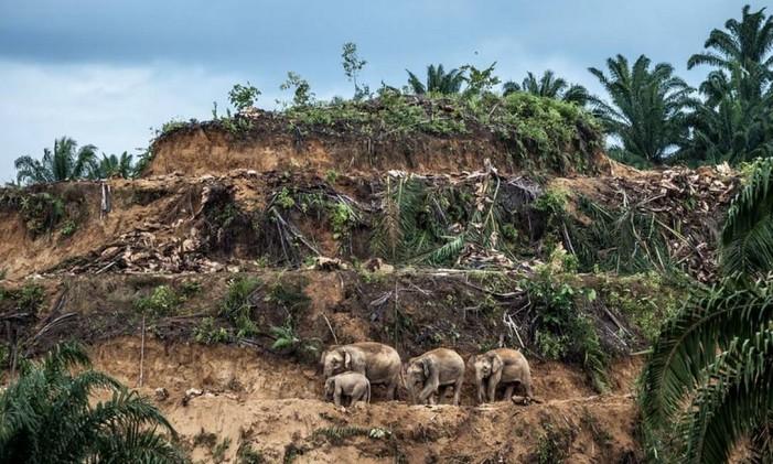 """Na categoria """"Fotojornalismo"""" a imagem vencedora foi """"Palm-oil Survivors"""", de Aaron Gekoski, do Reino Unido/EUA. na ilha de Bornéu, três elefantes cruzam uma plantação de palmeiras derrubadas para serem replantadas. O desflorestamento provocado para indústria do óleo está reduzindo as áreas florestais no estado de Sabah, na Malásia. Foto: Aaron Gekoski/NHM"""