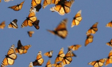 Insetos voadores, como a borboleta, são essenciais para a polinização Foto: Chip Taylor / AP