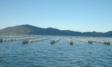 Toxina faz governo de Santa Catarina proibir cultivo de ostras Foto: Divulgação