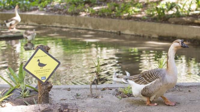 """Fauna variada. Um dos oito gansos que vivem no lago do Parque Guinle: """"ocupação"""" começou com dois patos, doados por moradores Foto: Agência O Globo / Bárbara Lopes"""