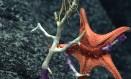 As estrelas do mar devem ser bastante afetadas pela acidificação dos oceanos Foto: NOAA Office of Ocean Exploration and Research