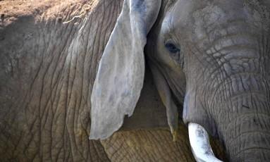 Nos últimos dez anos, população de elefantes africanos perdeu 111 mil indivíduos Foto: LOIC VENANCE / AFP