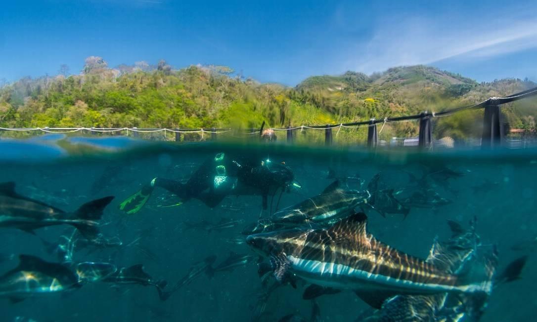Mergulho na fazenda marinha de vieiras e bijupirás da Pousada Nautilus, em Ilha Grande Foto: Alex Ferro / Agência O Globo