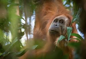Nova espécie de orangotango encontrada na Indonésia Foto: REUTERS