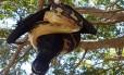 Píton captura morcego, mas não consegue comê-lo