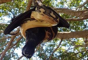 Píton captura morcego, mas não consegue comê-lo Foto: Redland's Snake Catcher