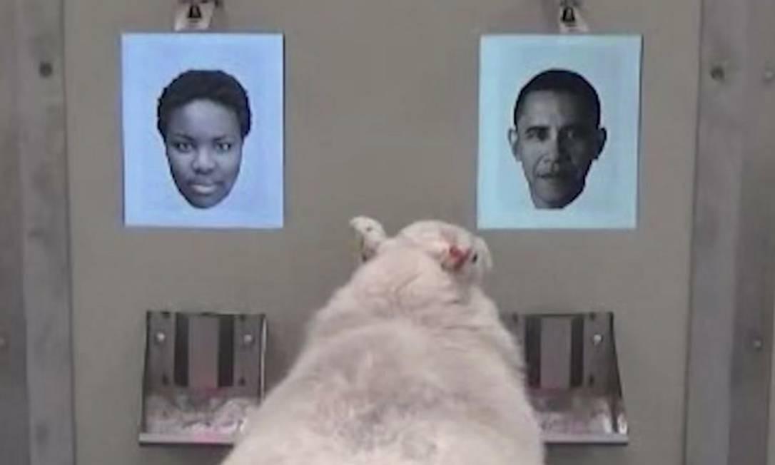 Imagem tirada de vídeo do experimento mostra uma das ovelhas identificando o ex-presidente dos EUA Barack Obama Foto: AP/Cambridge University