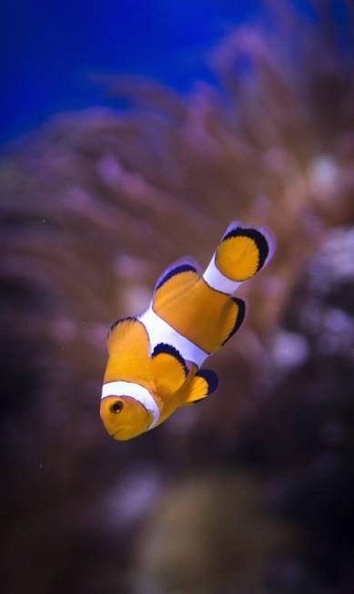 O peixe palhaço, que ficou famoso com o filme procurando Nemo, é uma das atrações do AquaRio, atraindo, principalmente, o interesse de crianças Mônica Imbuzeiro / Agência O Globo