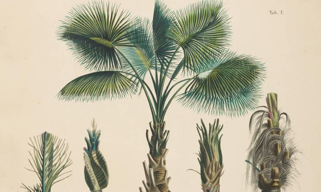 As obras expostas são parte integrante do acervo da Biblioteca Barbosa Rodrigues (que também funciona dentro do Jardim Botânico). Na foto, diferentes espécies de árvores Foto: Cicero Rodrigues / Divulgação/Cicero Rodrigues