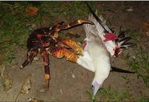Caranguejo dos coqueiros prendendo a gaivota com as garras Foto: Mark Laidre