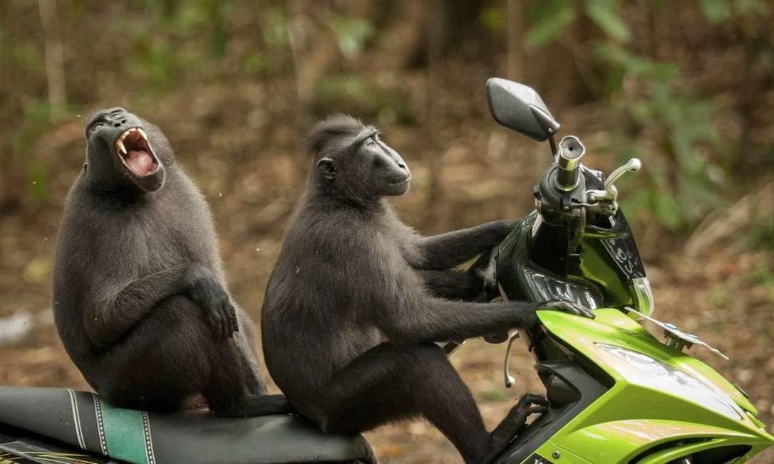 """O concurso de fotografia """"Comédia da Vida Selvagem"""" selecionou 40 imagens finalistas, entre elas a obra de Katy Laveck Foster, que mostra dois macacos em cima de uma moto na entrada da reserva Tangkoko Batuangus, na Indonésia Comedy Wildlife Photography Award / Katy Laveck Foster"""