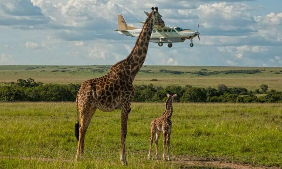 Uma girafa mordendo um avião? Não, apenas uma fotografia tirada por Graene Guy no momento exato em que a aeronave passava por trás do rosto da girafa, dando a impressão que o avião é segurado pelo animal. Comedy Wildlife Photography Award / Graeme Guy