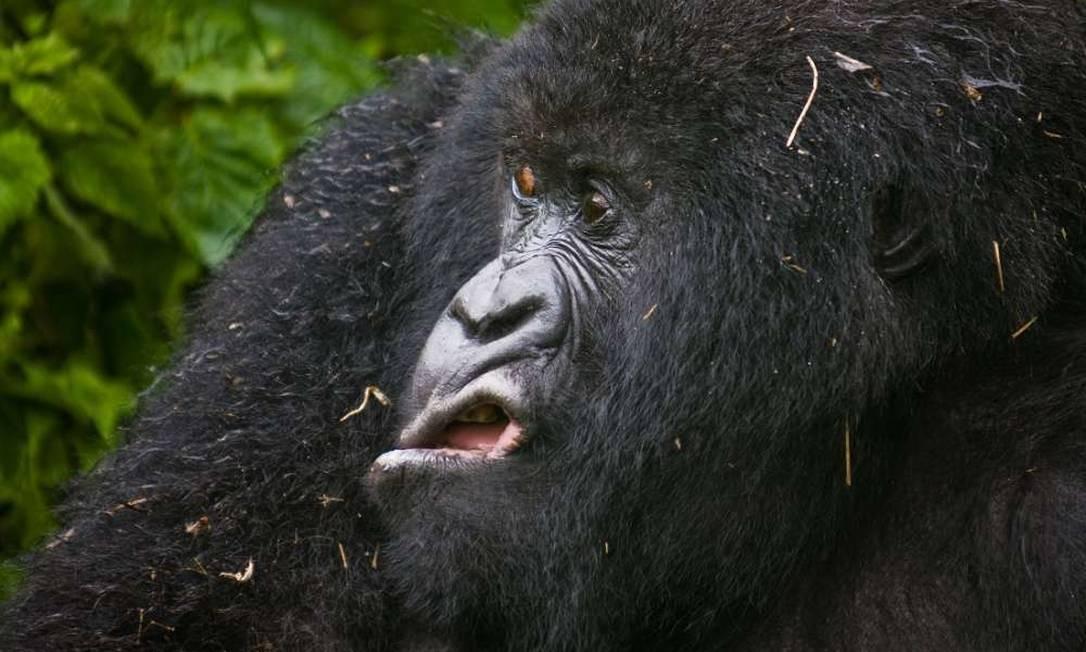 Um gorila no Parque Nacional Virunga, em Ruanda, parece não ter gostado de alguma coisa. A fotografia é de Josef Friedhuber. Comedy Wildlife Photography Award / Josef Friedhuber