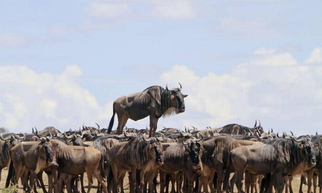 O que este gnu de cauda preta está fazendo em cima dos outros animais da manada? Segundo o fotógrafo Jean Jacques Alcalay, na verdade ele está sobre um pequeno monte de terra, em Masai Mara, no Quênia. Comedy Wildlife Photography Award / Jean Jacques Alcalay