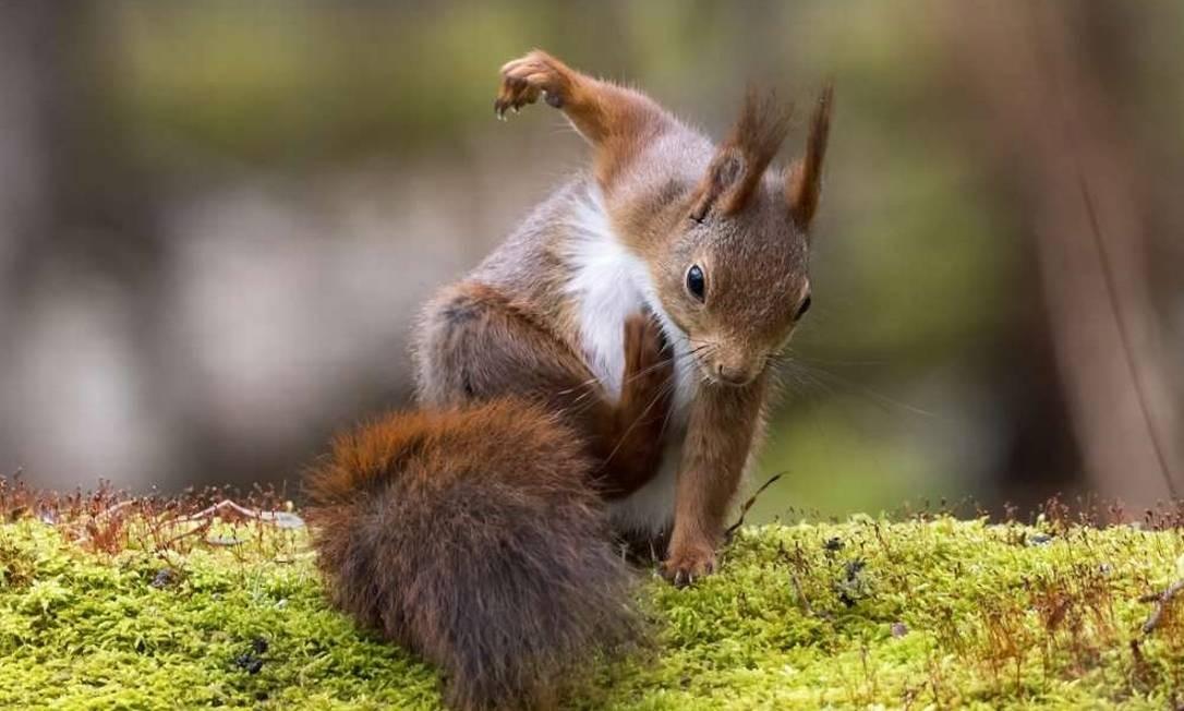 Este esquilo parece estar socando o chão, mas está apenas se coçando. A fotografia é de Johnny Kaapa, tirada em Gothenburg, na Suécia. Comedy Wildlife Photography Award / Johnny Kaapa