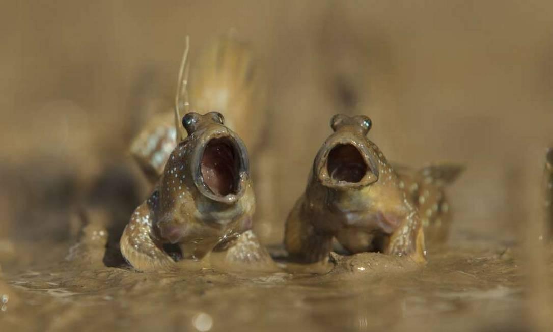 Peixes cantores?!? Não, apenas dois peixes anfíbios da família Gobiidae, conhecidos como saltadores do lodo. Eles são capazes de respirar fora d'água, desde que estejam úmidos. A foto é de Daniel Trim, tirada em Krabi, na Tailândia. Comedy Wildlife Photography Award / Daniel Trim