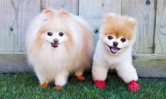 Buddy e Boo, da raça splitz alemão colecionam 580 mil seguidores Foto: Reprodução / Instagram