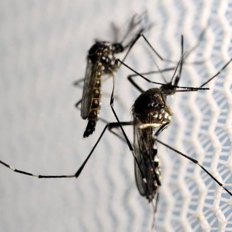 Aedes aegypti: em 1958, o Brasil foi decretado livre da espécie, mas depois ela se tornou resistente aos principais inseticidas Foto: PAULO WHITAKER / Reuters