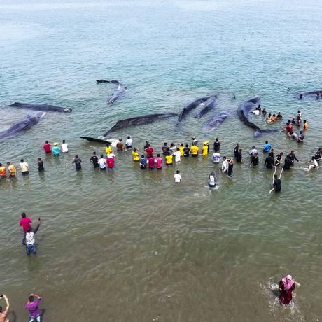 Imagem aérea mostra as baleias cercadas por equipes de resgate e ativistas Foto: CHAIDEER MAHYUDDIN / AFP