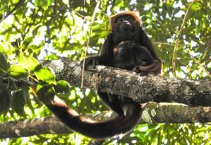 A fêmea Kala com a sua cria, no meio da Floresta da Tijuca: sinal de que os bugios se adaptaram Foto: Parque Nacional da Tijcua / Divulgação