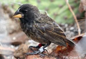 Uma ave da espécie 'Geospiz fortis', chamada pelos pesquisadores de 'linhagem Big Bird', resultado do cruzamento entre duas espécies diferentes Foto: Divulgação/PR GRANT