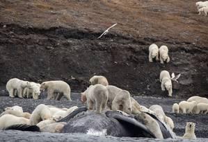 A baleia oferece toneladas de alimentos para os ursos polares Foto: MAX STEPHENSON / AFP