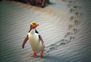Pinguim de olho amarelo é um dos símbolos da Nova Zelândia Foto: AP