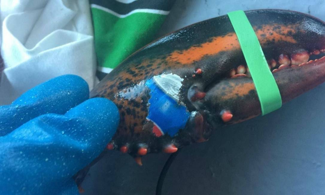 Lagosta tem as cores da Pepsi em uma das garras Foto: / Karissa Lindstrand/Reprodução