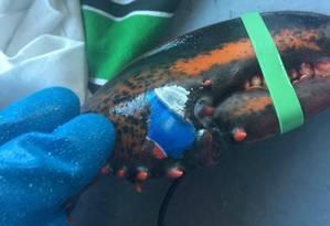 Lagosta tem as cores da Pepsi em uma das garras Foto: Karissa Lindstrand/Reprodução