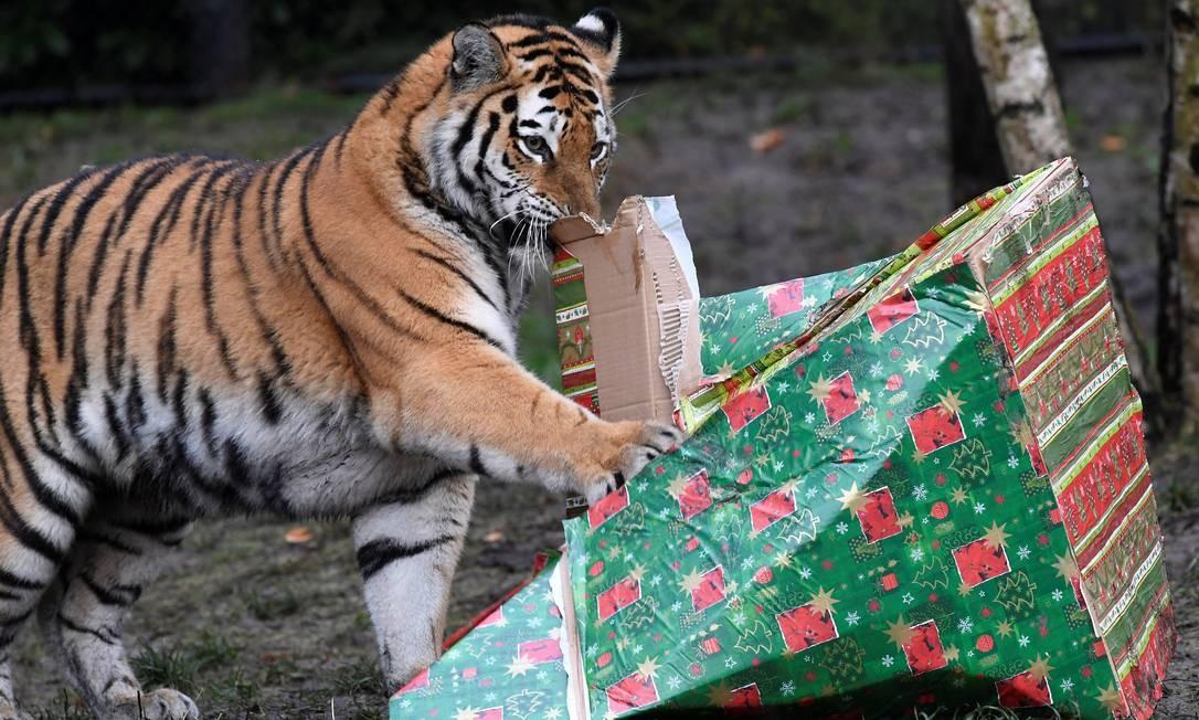 Um tigre abre um presente de Natal no zoológico de Hamburgo, na Alemanha Foto: FABIAN BIMMER / REUTERS