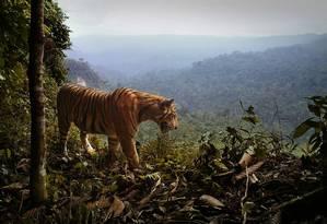 O tigre de Sumatra um território de 400 quilômetros quadrados Foto: Matthew Luskin