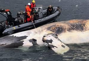 Pesquisadores examinam uma baleia-franca-do-atlântico-norte no Golfo de São lourenço, no Canadá Foto: HO/AP