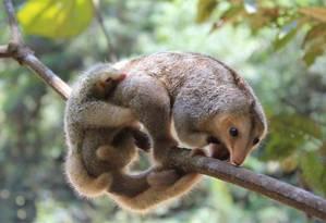 O tamanduá-seda era entendido pelos pesquisadores como uma única espécie, mas agora se sabe que existem sete espécies diferentes Foto: Divulgação