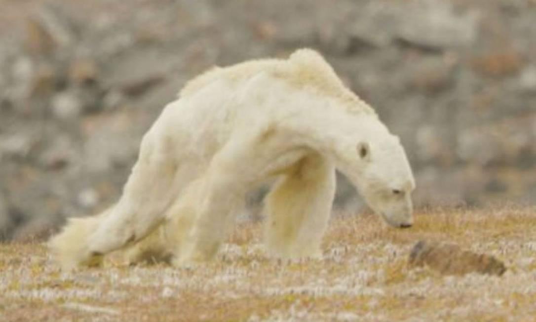 Sem energia, urso polar tem dificuldade para caminhar Foto: / REPRODUÇÃO/PAUL NICKLEN