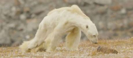 Sem energia, urso polar tem dificuldade para caminhar Foto: REPRODUÇÃO/PAUL NICKLEN
