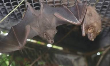 Animais estão transmitindo a doença na floresta Foto: Gustavo Stephan