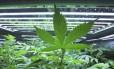 Projeto de lei visa liberar o uso medicinal da planta Foto: Eric Engman / AP