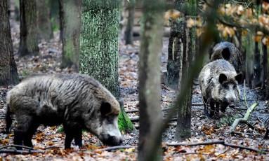Bandos vivem espalhados pelas florestas da capital alemã, e são vistos em parques e ruas Foto: TOBIAS SCHWARZ / AFP