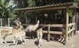 Exóticos. Animais selvagens no Sítio Festa na Floresta encantam: crianças alimentam e aprendem sobre os bichos
