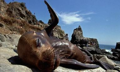 Leão marinho descansa nas pedras em San Antonio, no Chile Foto: Roberto Candia / AP