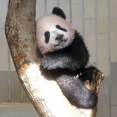 Xiang Xiang, de 6 meses, repousa sobre tronco Foto: Yoshikazu Tsuno / AP