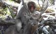 Jovens fêmeas de macacos japoneses simulam relações sexuais com cervos Foto: REPRODUÇÃO/YOUTUBE